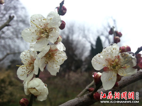 南京梅花山已经有一半的梅花绽.