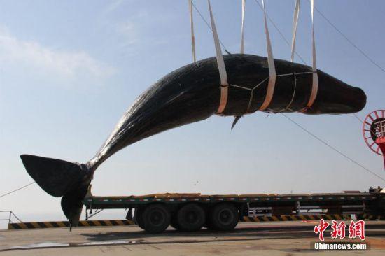 江苏如东两条搁浅抹香鲸打捞完毕 两条均为雄性